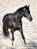 Running beautiful black stallion in the desert Royalty Free Stock Image