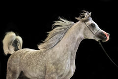 Running  beautiful grey arabian stallion at black background. Stock Photography