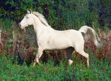 Running beautiful palomino horse at freedom Stock Photography