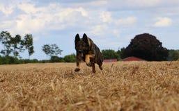 Running belgian shepherd on a field. Belgian shepherd is running on a stubble field Stock Photo