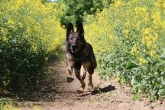 Running belgian shepherd. Belgian shepherd is running in a seed field Stock Photos