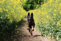 Running belgian shepherd. Belgian shepherd is running in a seed field Stock Photo
