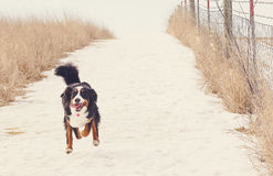 Running Bernese Mountain Dog. A Bernese Mountain dog runs as fast as she can royalty free stock photos