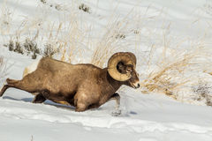 Running Bighorn Sheep. Large Male Bighorn Sheep Running in Deep Snow Royalty Free Stock Images