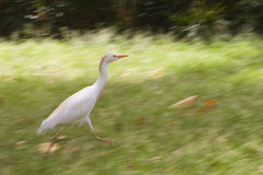 Running bird Royalty Free Stock Photography