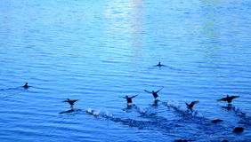 Running birds on water Royalty Free Stock Image