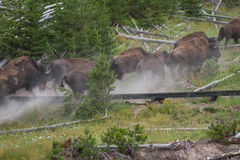 Running bison heard Stock Photo