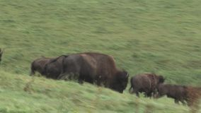 Running bisons stock video footage