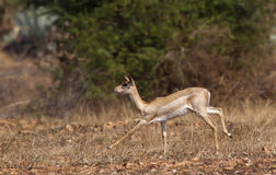 Running black buck Stock Image