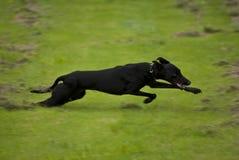 Running black dog. A big black dog running full speed on green grass Stock Images