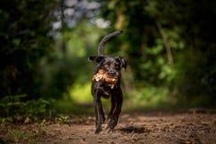 Running black dog royalty free stock photography