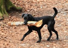 Running black dog with huge stick. Strong small black dog with long tail running in forest fetching huge stick from birch tree in mouth. Pet animal concept stock photos