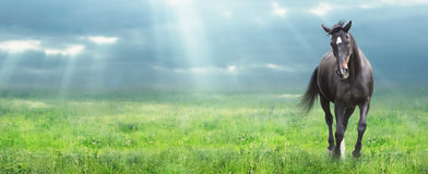 Running black horse at morning field, banner Royalty Free Stock Image