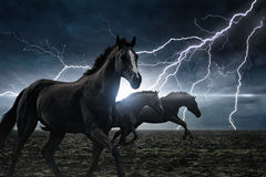 Running black horses Royalty Free Stock Image