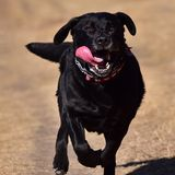 Running Black Labrador. A running black labrador (lab) tracking in a field Stock Image