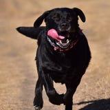Running Black Labrador Stock Image