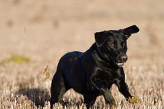 Running black labrador. Portrait of a young black labrador running through a field Stock Images