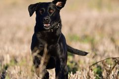 Running black labrador. Portrait of a young black labrador running through a field Royalty Free Stock Photos