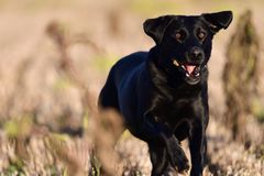 Running black labrador. Portrait of a young black labrador running through a field Royalty Free Stock Images