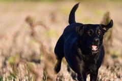 Running black Labrador. Portrait of a young black Labrador running through a field Stock Photography