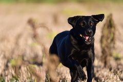 Running black Labrador. Portrait of a young black Labrador running through a field Stock Photos