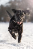 Running black labrador. In the snow Stock Image