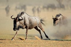 Running blue wildebeest - Kalahari desert Stock Photo