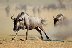 Running blue wildebeest - Kalahari desert Stock Photo
