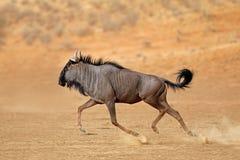 Running blue wildebeest - Kalahari desert royalty free stock photography