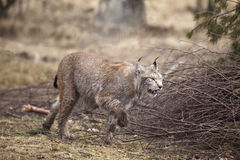 Running bobcat Royalty Free Stock Images
