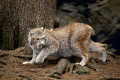 Running bobcat Stock Photo