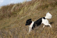 Running Border Collie. A photo of a border collie royalty free stock images
