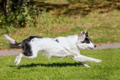 Running border collie Stock Image