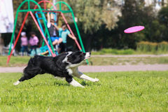 Running border collie Royalty Free Stock Photography