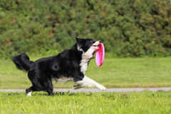 Running border collie Stock Photography
