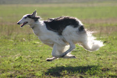 Running borzoi Stock Photography