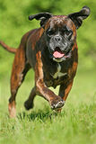 Running Boxer dog. Frontal close-up of a running german Boxer dog stock photo