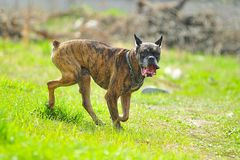 Running Boxer dog Stock Image