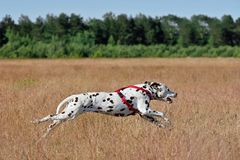 Running Dalmatian dog. Running broun Dalmatian dog on coursing on field background Stock Images