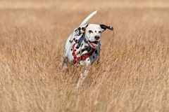 Running Dalmatian dog. Running broun Dalmatian dog on coursing on a field background Stock Image