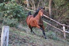 Running brown quarter horse. Beautiful brown quarter horse is running on the paddock stock photography