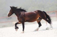 Running brun häst på lantgård Arkivfoton