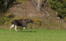 Running bull elk Royalty Free Stock Photo