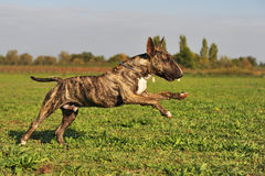 Running bull terrier Royalty Free Stock Image