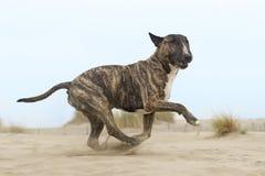 Running bull terrier Stock Photos