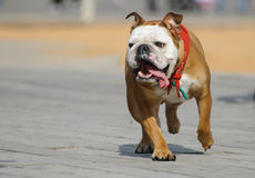 Running bulldog Stock Photo
