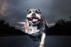 Running bulldog empty road Stock Photography
