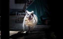 Running bulldog Royalty Free Stock Image