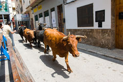 Running bulls. Bulls running along the streets of Villamarxant city, celebrating a spanich fest on 2013 Stock Photo