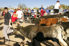 Running of the Bulls in America in Arizona Royalty Free Stock Photography